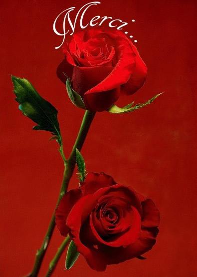 Merci images photos et illustrations pour facebook bonnesimages - Comment couper une rose sur un rosier ...